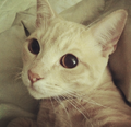 Cat's Eye, Pupil Fully Dilated.png