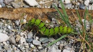 File:Caterpillar (Germany) 2017.webm
