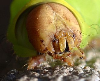 Lepidoptera - Face of a caterpillar with the mouthparts showing
