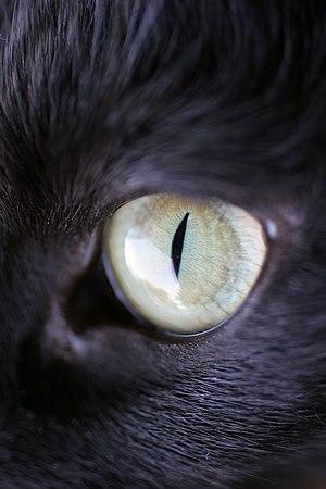 Cat senses - A closeup of a cat's eye