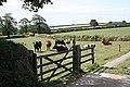 Cattle near Tawell Farm - geograph.org.uk - 217184.jpg