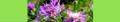 Centaurea jacea. Reader.png
