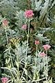 Centranthus.ruber.6975.jpg