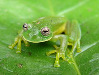 Lissamphibia Subclass of amphibians