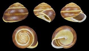 Cepaea hortensis - Shell 23.jpg