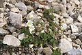 Cerastium carinthiacum ssp. austroalpinum PID1485-1.jpg