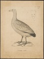 Cereopsis novae hollandiae - 1700-1880 - Print - Iconographia Zoologica - Special Collections University of Amsterdam - UBA01 IZ17600121.tif