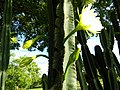 Cereus cactus Aliyar ph 05.jpg