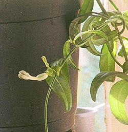Ceropegia crassifolia.jpg