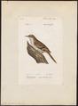 Certhia familiaris - 1842-1848 - Print - Iconographia Zoologica - Special Collections University of Amsterdam - UBA01 IZ19200345.tif