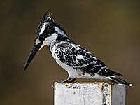 Ceryle rudis (male).jpg