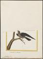Chaetura acuta - 1700-1880 - Print - Iconographia Zoologica - Special Collections University of Amsterdam - UBA01 IZ16700119.tif