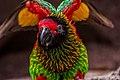 Chalcopsitta sintillata -Busch Gardens, Tampa Bay, Florida-8a (1).jpg