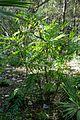 Chamaedorea microspadix - Zilker Botanical Garden - Austin, Texas - DSC08993.jpg