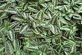 Chamaeranthemum beyrichii rotundifolium kz1.jpg