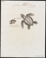 Chelonia imbricata - 1700-1880 - Print - Iconographia Zoologica - Special Collections University of Amsterdam - UBA01 IZ11600193.tif
