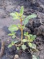 Chenopodium glaucum sl15.jpg