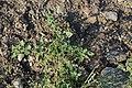 Chenopodium sosnowskyi 47118317.jpg