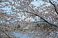 Cherry-blossom-festival-jefferson-memorial - Virginia - ForestWander.jpg