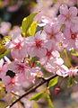 Cherry blossom (Cerasus lannesiana Carrière, 1872 'Kawazu-zakura').JPG