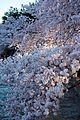 Cherry blossoms 0006 - Washington DC - 2014-04-10 (13772474573).jpg