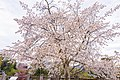 Cherry blossoms at Matsuyama Castle, Ehime Prefecture; April 2017 (24).jpg
