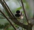 Chickadee (36029089312).jpg