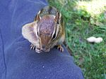 Chipmunk with peanut hidden in cheek pouch.jpg
