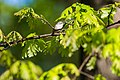 Chipping sparrow (26343029792).jpg