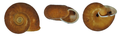 Chloritis talabensis shell.png