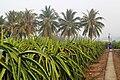 Cho Gao, Quon Long, Tien giang, vuon Thanh long, Vietnam - panoramio.jpg