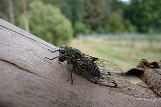 Endemism - Chorus cicada, a species endemic to New Zealand