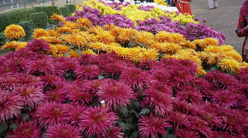 File:Chrysanthemum-mix.jpg