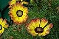 Chrysanthemum from lalbagh7257.JPG