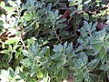 Chrysanthemum pacificum 2zz.jpg