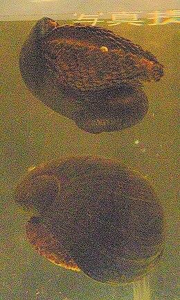 Chrysomallon squamiferum
