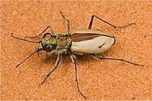 A photo of Cicindela albissima on the pink sands