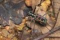 Cicindela duponti in Kadavoor.jpg