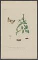 Cidaria - Print - Iconographia Zoologica - Special Collections University of Amsterdam - UBAINV0274 003 06 0073.tif