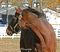 Cigar watching Kona Gold gallop in his paddock (3029310039).jpg