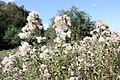 Cirsium arvense - Bliesen - Bauernstall - 2019-09-02, 5.jpg