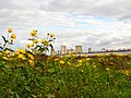 City oppresses our yellow flowers ... - panoramio.jpg