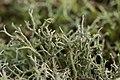 Cladonia sp. (38506710916).jpg