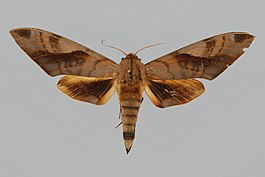 Clanis hyperion BMNHE272387 male up.jpg