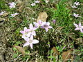 Claytonia virginica by Danny S. - 001.JPG