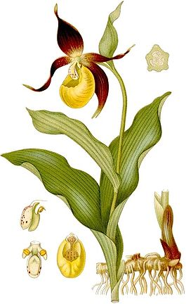 Cypripedium calceolus}}