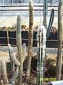 Cleistocactus and Cephalocereus (3424144575).jpg