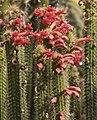 Cleistocactus samaipatanus.jpg