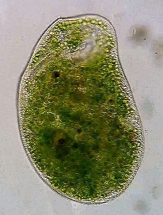 Climacostomum - Climacostomum virens