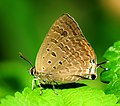 Close wing position of Arhopala atrax, Hewitson, 1862 – Indian Oakblue WLB.jpg